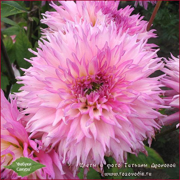 георгин и хризантема отличия